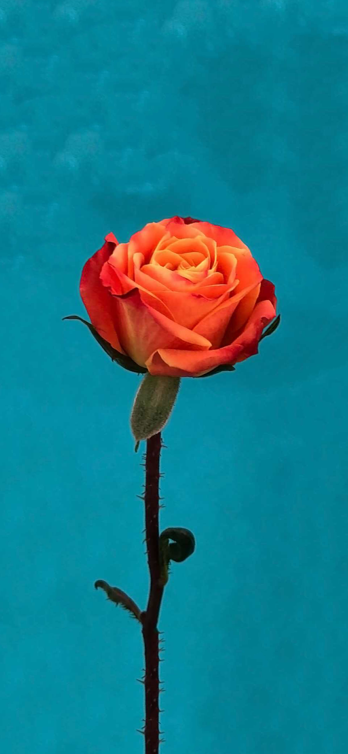Ios 11 Orange Rose Wallpaper Wallpapers Central